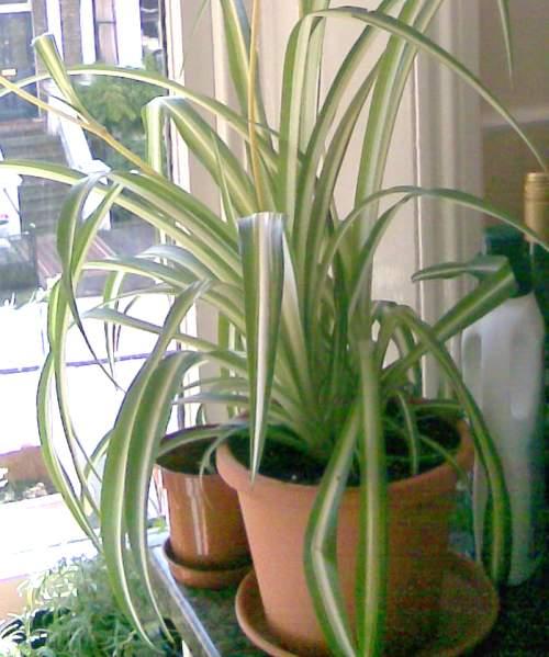 Big Spider Plant