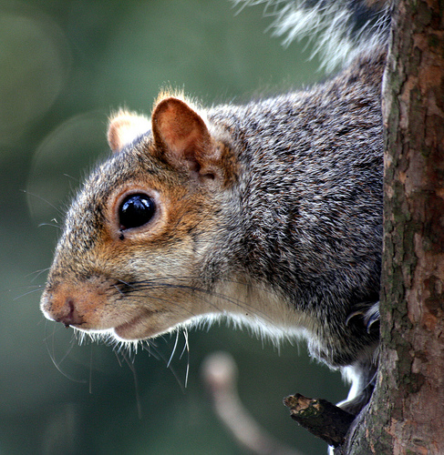 Squirrel in Greenwich Park, by flickr user law_keven