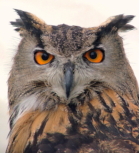 European Eagle Owl Portrait - London Bridge, London, England - Friday 7th September 2007