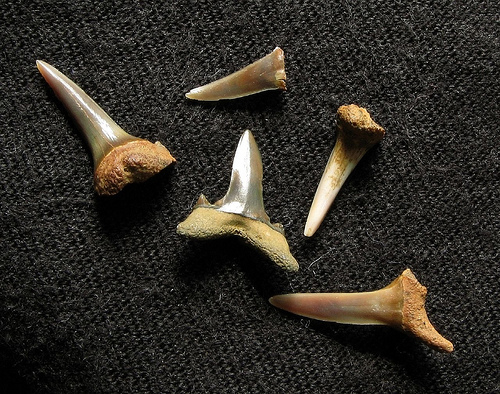 Fossil Shark Teeth (Eocene) from the Blackheath Beds by flickr user RATAEDL