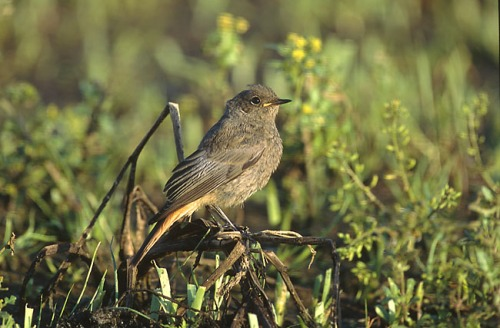 Female or immature European Black Redstart (Phoenicurus ochruros gibraltariensis)