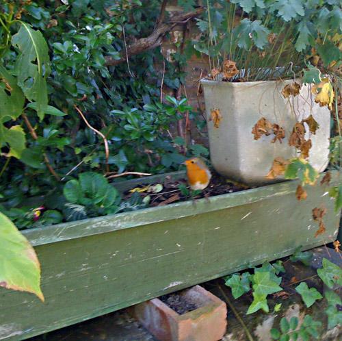 A robin in the Secret Garden