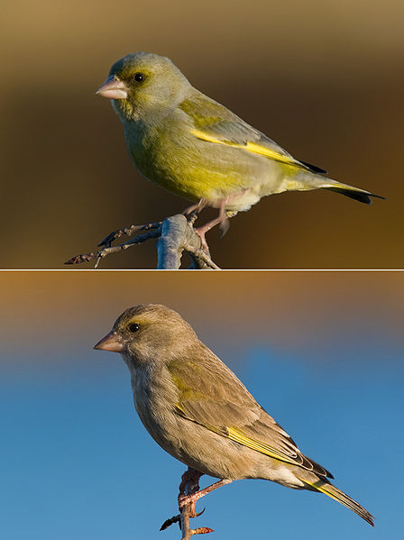 European_Greenfinch_male_female from Wikipedia