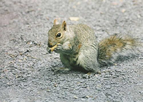 Squirrel in Blackheath by Flickr user waldopepper