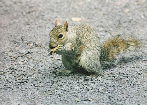 Squirrel in Blackheath by Flickr user waldopepper