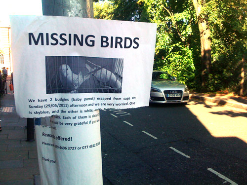 Budgie missing
