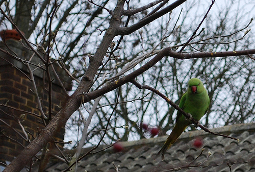 Parakeet sighting in Blackheath
